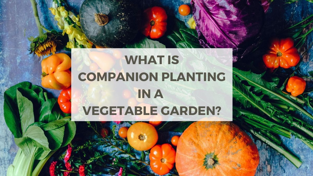 What is companion planting in a vegetable garden