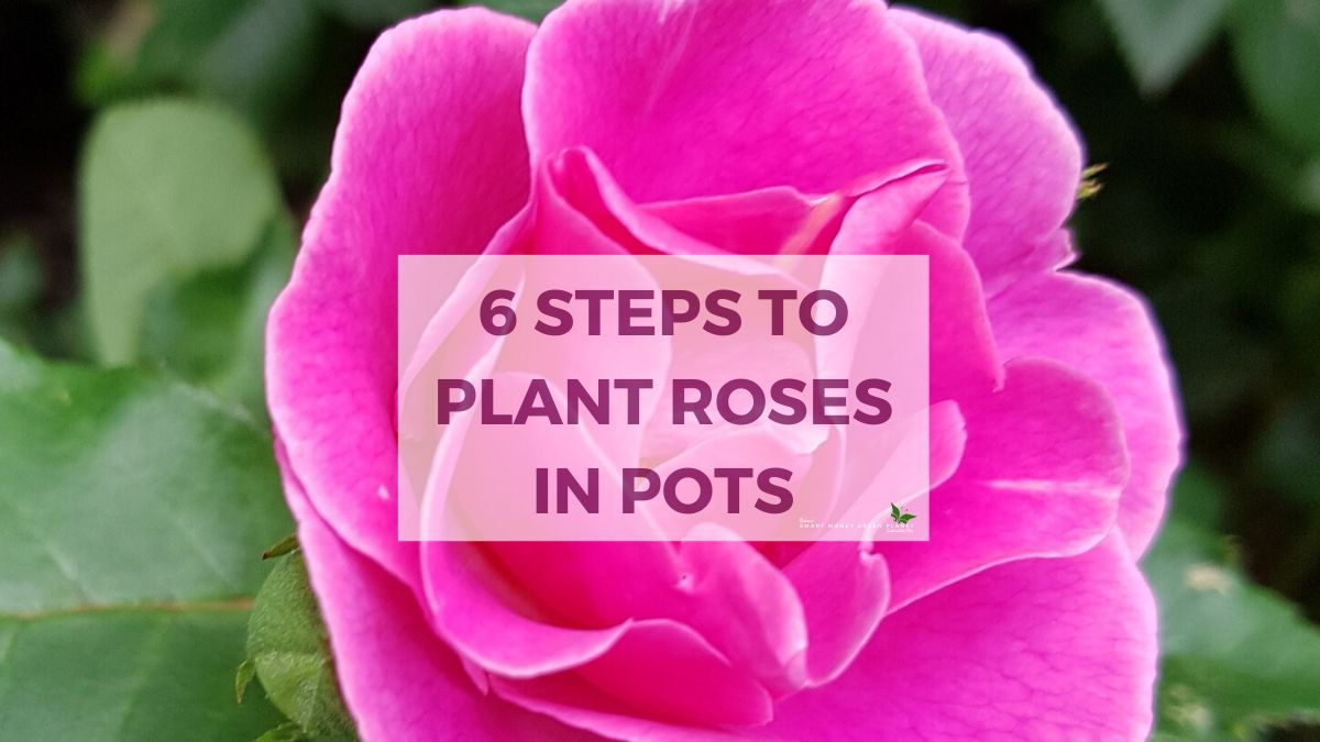 6 Steps to plant roses in pots