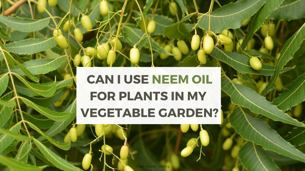 Can I Use Neem Oil for Plants?