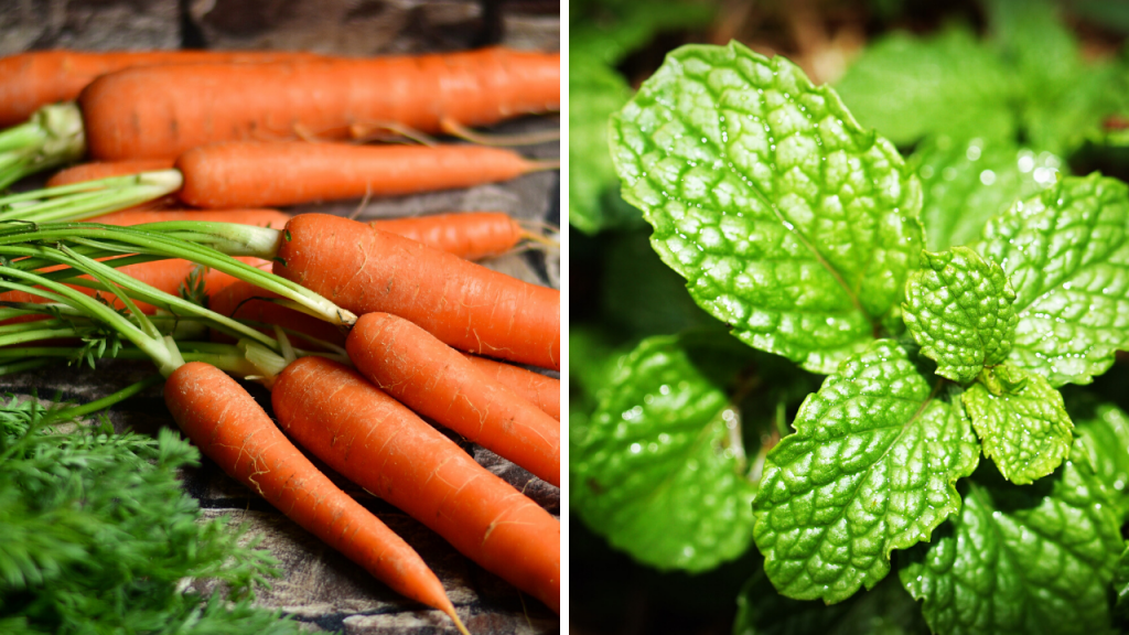 Carrot Mint Companion Planting
