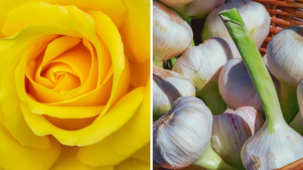 Garlic Rose Companion Planting