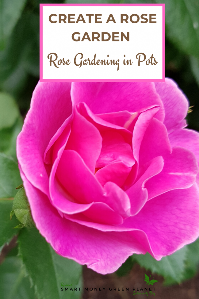 How to plant roses in pots