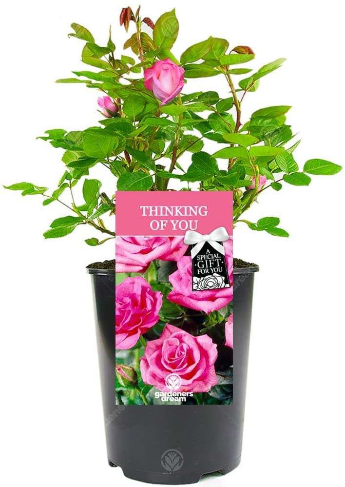 Rose Plant as an Eid Gift