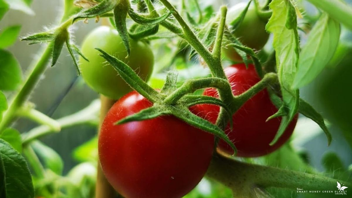 How to Grow Cherry Tomatoes Indoors