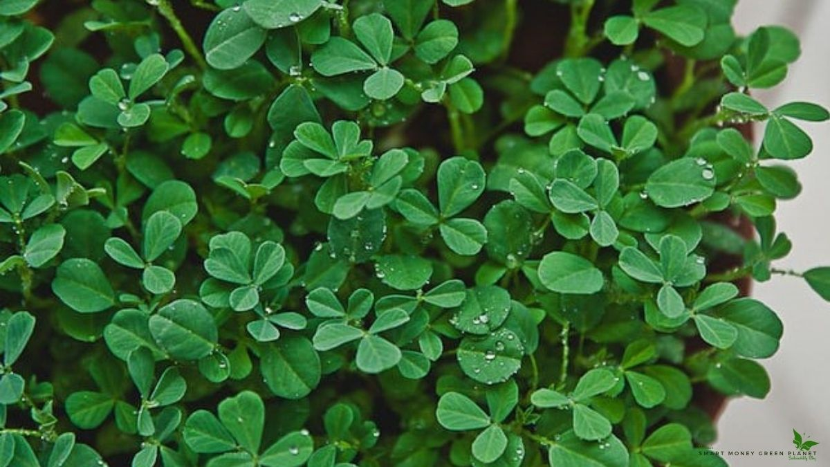 How To Grow Fenugreek From Seeds